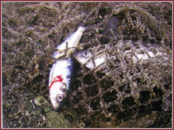 Peixes encontrados no Pacífico contêm níveis de radioatividade.