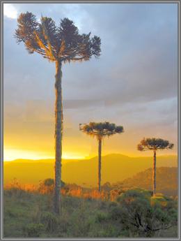O alto da Boa Vista ou Lomba Larga como era conhecido foi o cenário dos três pinheiros e o famoso tesouro.